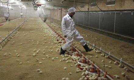 震惊!加州一家鸡工厂有8名工人死于新冠被紧急关闭!!加州州大新学期爆发大量新冠!!