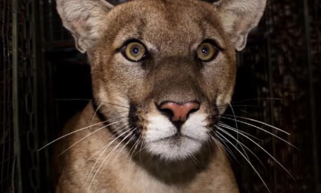 加州欲花近亿美元为野生动物在高速公路上建桥