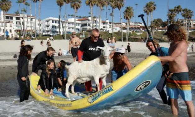 加州一海滩冲浪教练竟是只山羊?你一票我一票,山羊明天就出道!