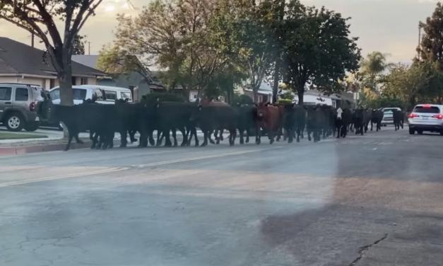 """屠宰场里的牛组团""""越狱"""",洛杉矶街头上演追牛大戏!"""